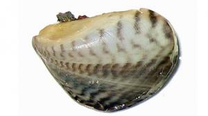 quagga_mussel